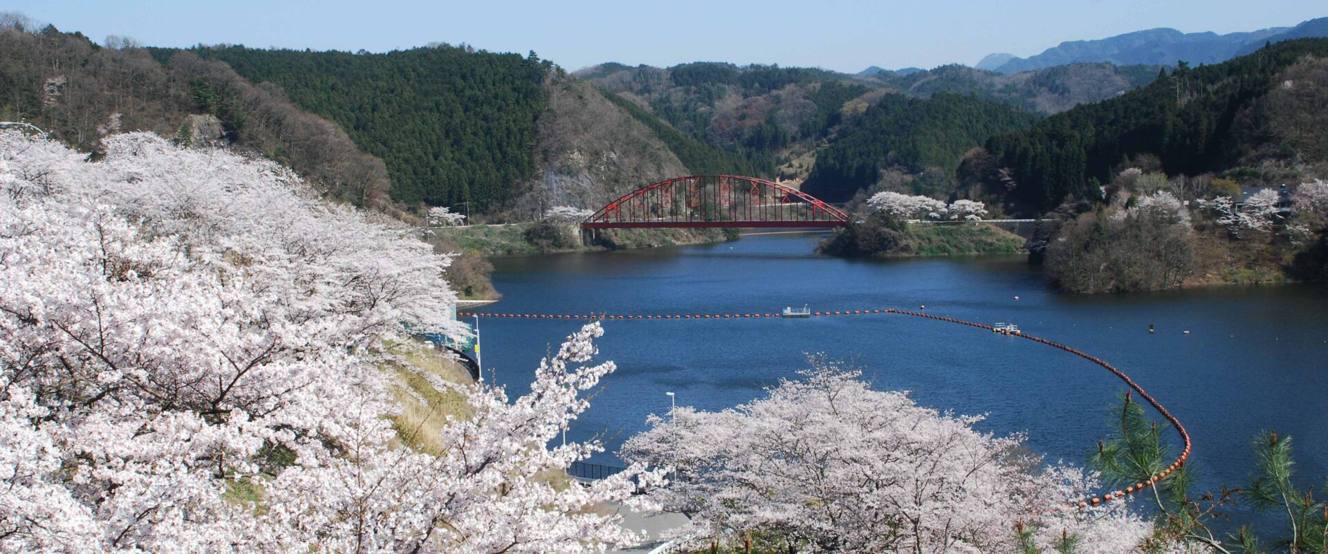 A brilliant blue lake with white cherry blossoms