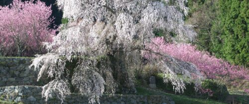 Matabei Cherry Tree
