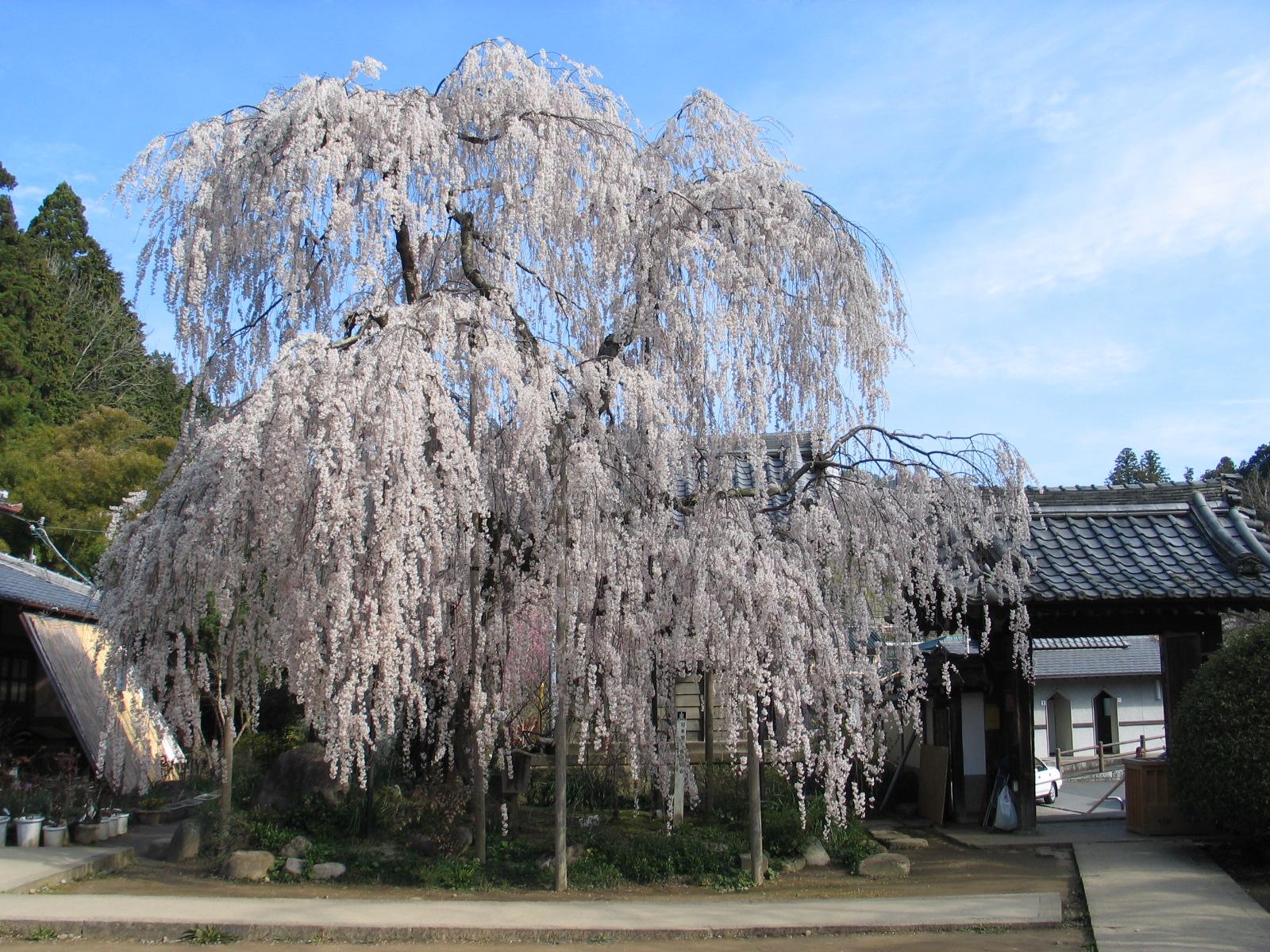 Ono-ji Temple Ruins / 大野寺しだれ桜