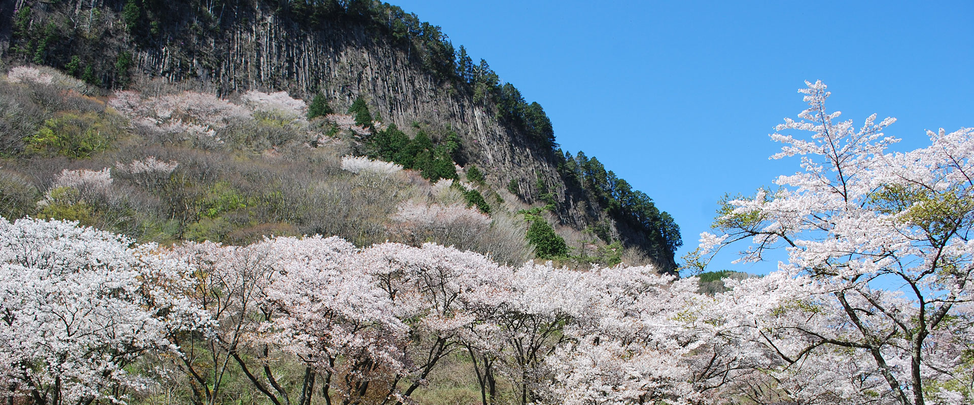 Mountain cherry blossoms at the base of a sheer rock wall