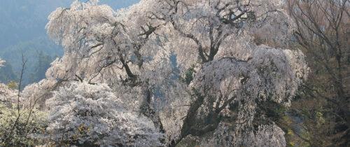 Weeping Cherry Tree at Daishoji
