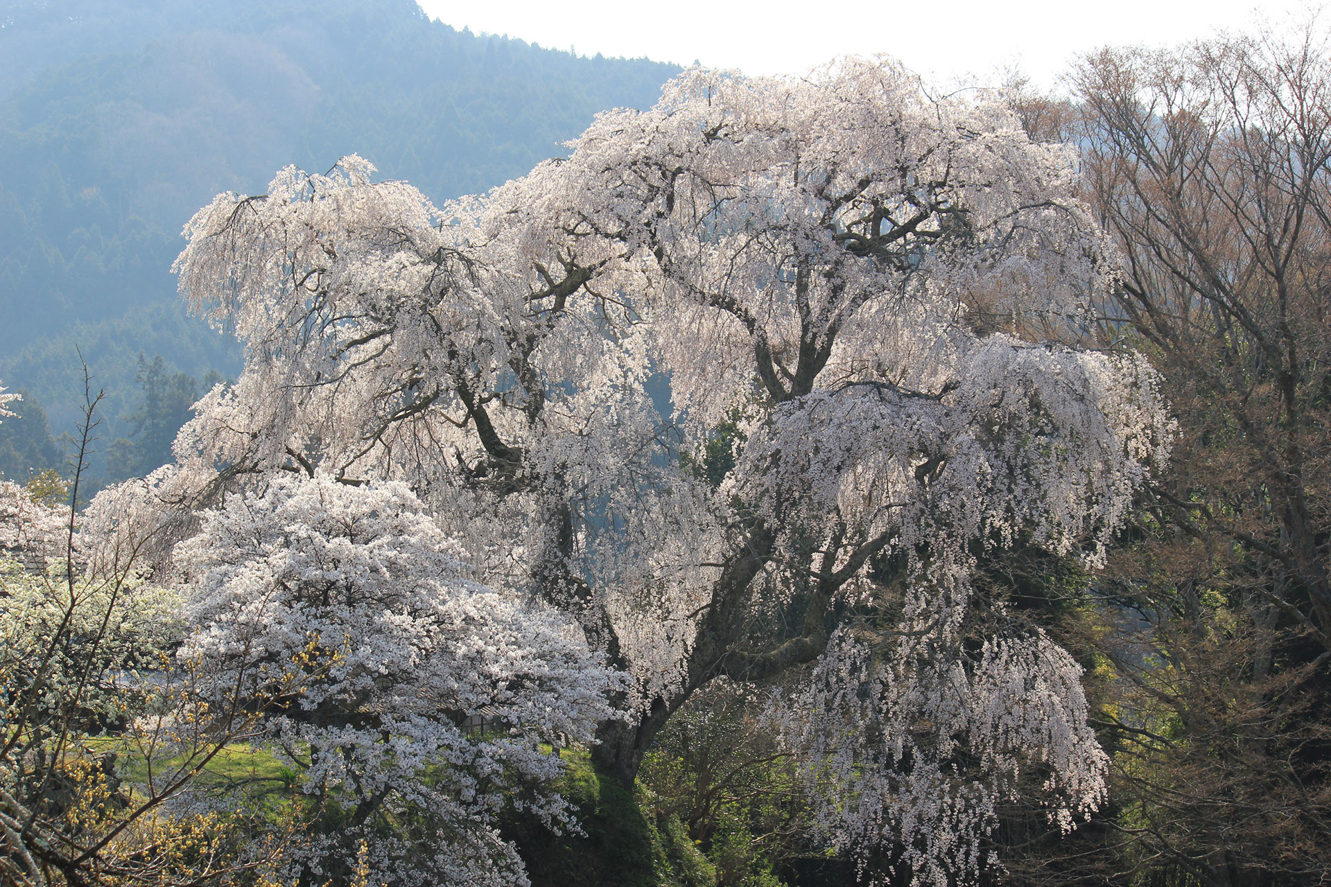 Weeping Cherry Tree at Daishoji