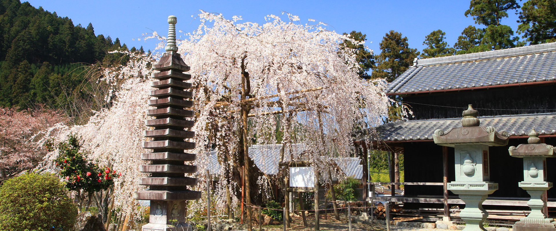 Weeping cherry blossoms and an intriguing hidden history