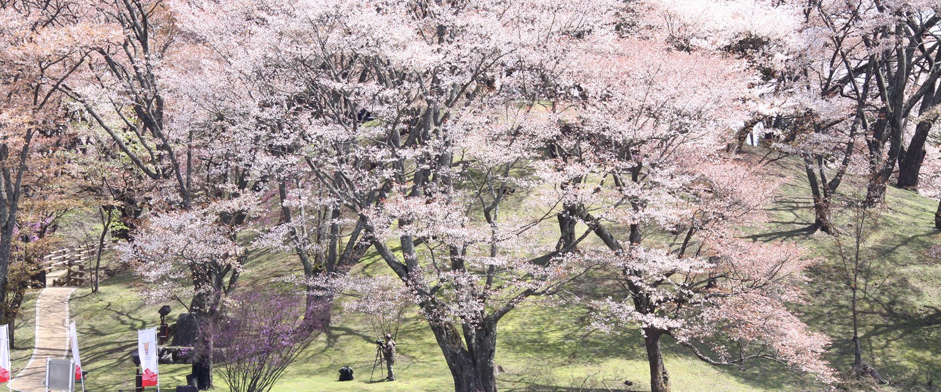 More than 100 wild mountain cherry trees