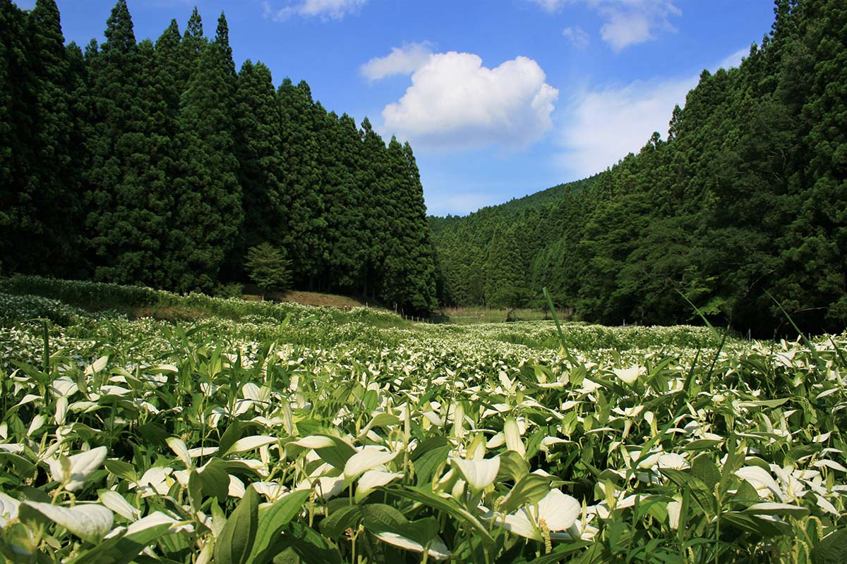 Lizard's Tail Garden of Okada Valley / 岡田の谷の半夏生園