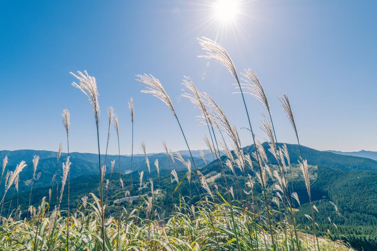 Shining pampas grass