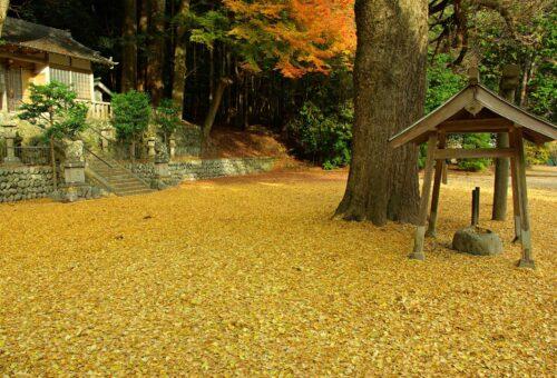 Fall gingko leaves at Kasuga Shrine (Tsuchiyanara)