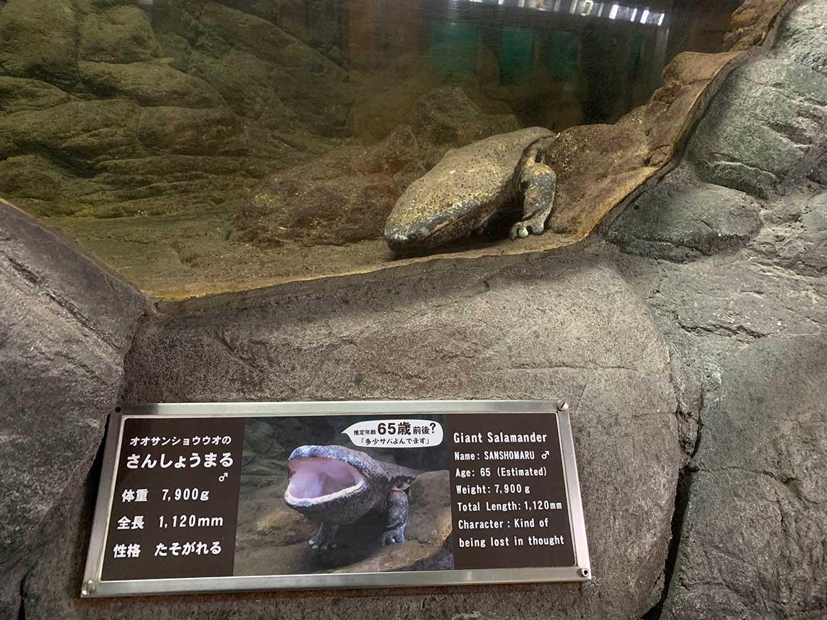 Salamander / オオサンショウウオ