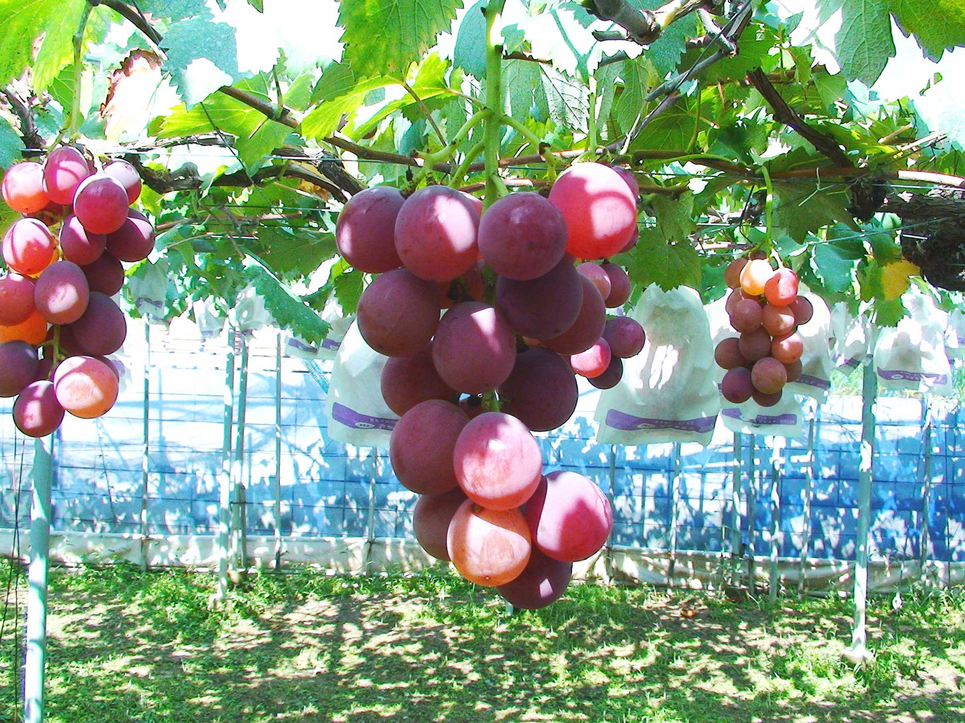 Grape picking at Shorenji