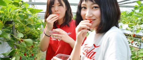 Strawberry picking at Shorenji