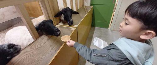 Feeding sheep crackers / 羊せんべいをあげる