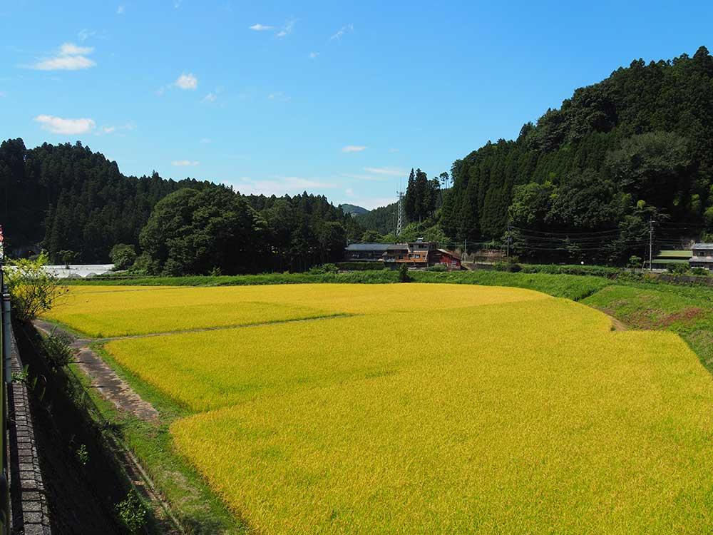Rice paddies in Mitsue in September / 9月の田んぼ(御杖村)