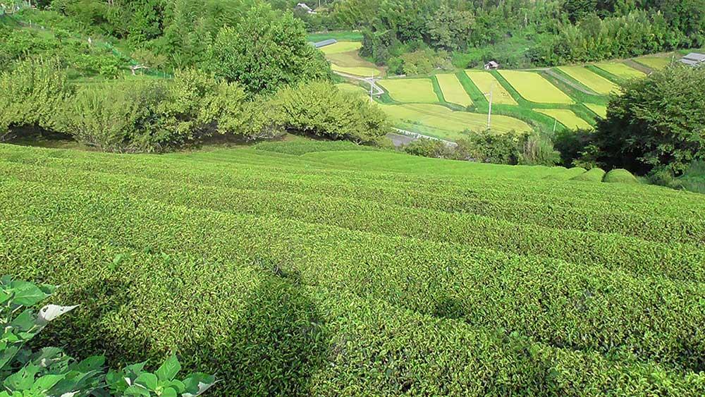 かすががーでんの前にひろがる茶畑 / Tea plantation in front of Kasuga Garden